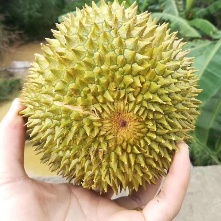 陕西本鲜农业菠萝蜜榴莲种植原基地原产地果园
